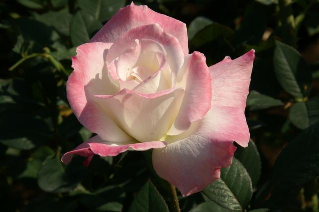 つぼみから開花、美しいプロセス