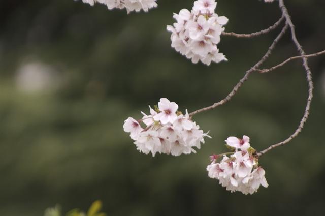 桜の枝先、鞠のよう