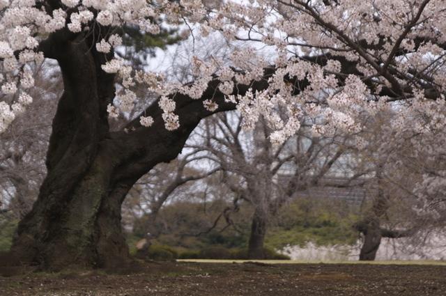 桜、大木の風格
